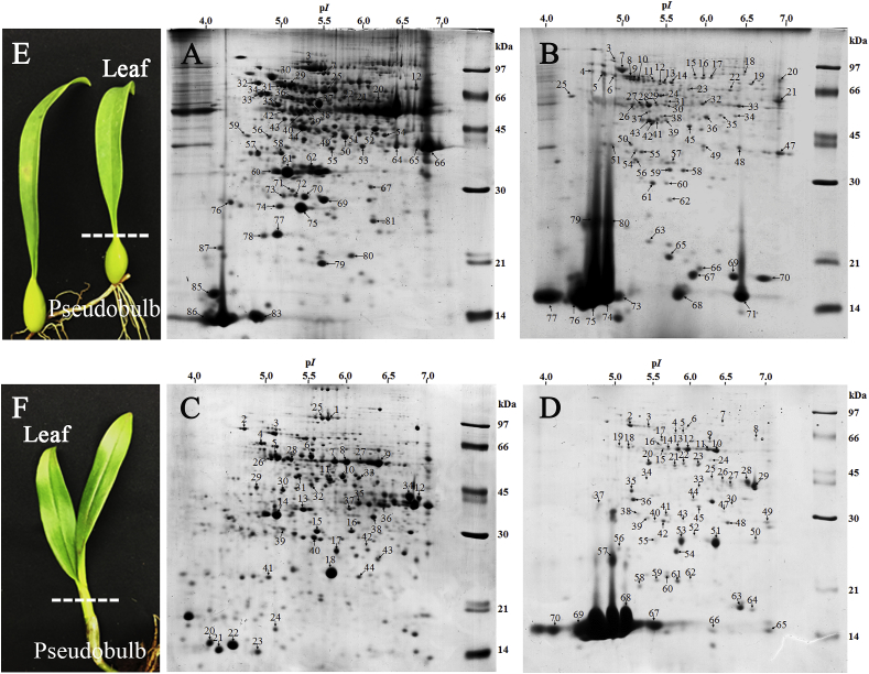 Detection of superoxide dismutase (Cu-Zn) isoenzymes in leaves and pseudobulbs of Bulbophyllum morphologlorum Kraenzl orchid by comparative proteomic analysis.
